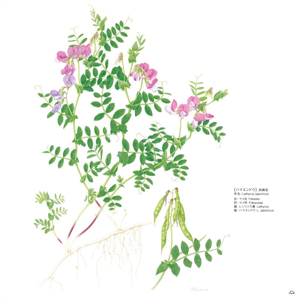 鳥居ひろみボタニカルアート─町角の植物図鑑ハマエンドウ