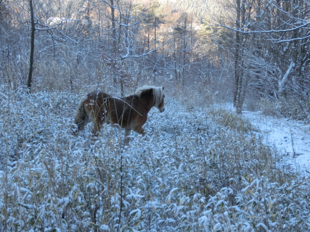 雪の放牧地の馬