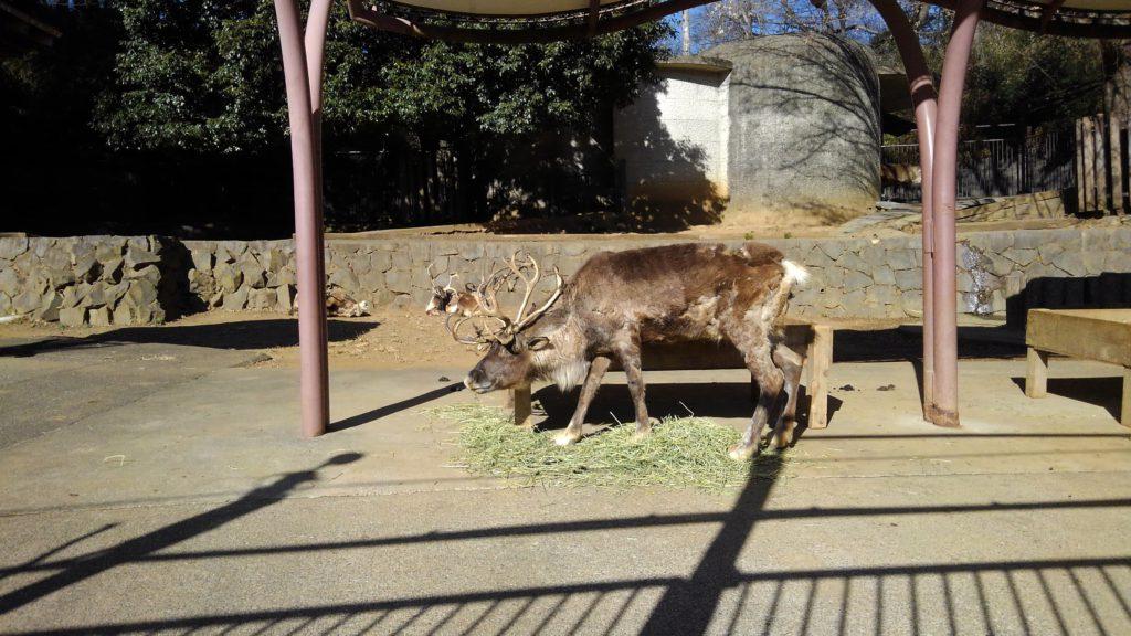 多摩動物公園のトナカイ