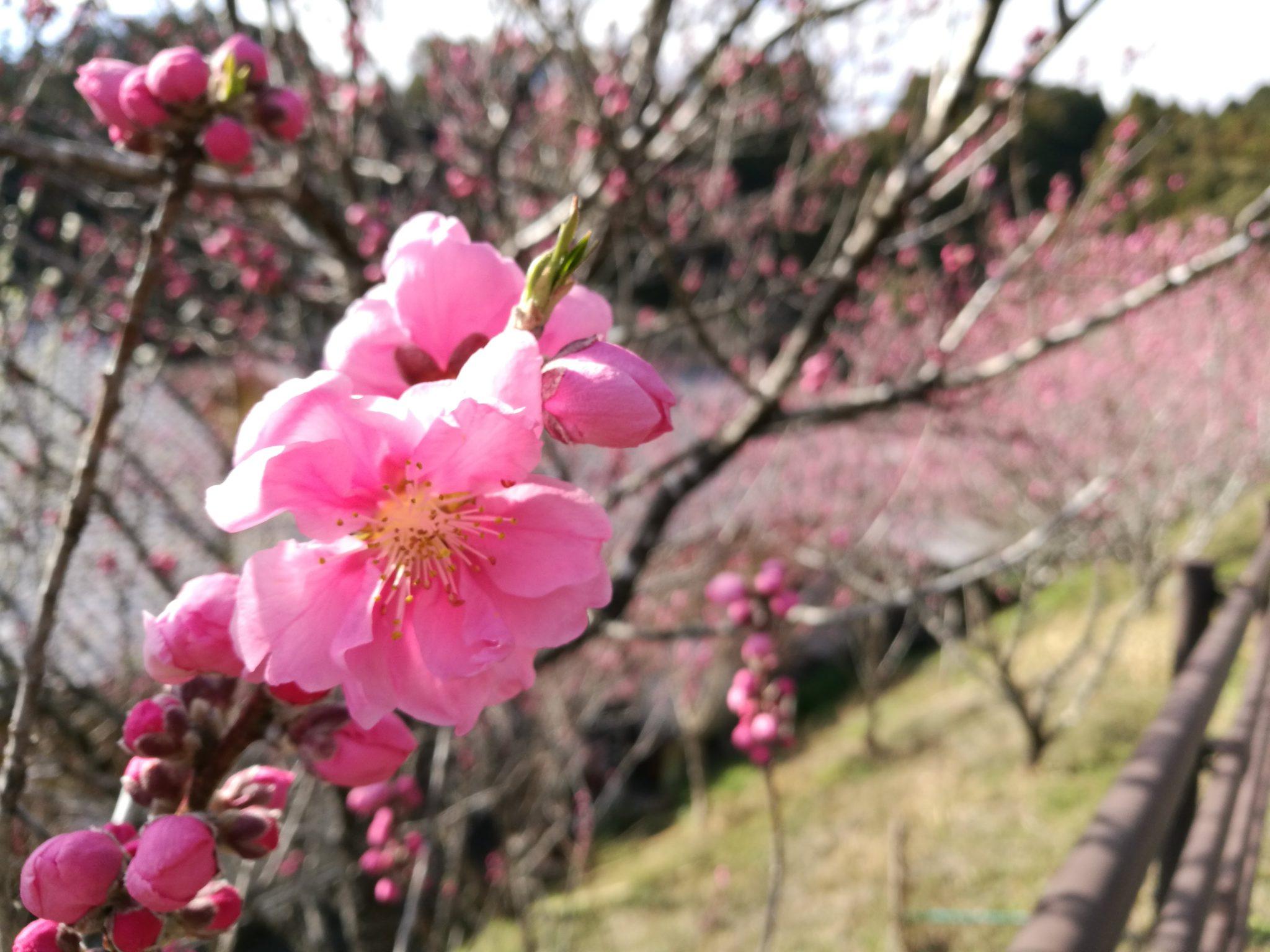 桃始笑、桃の花