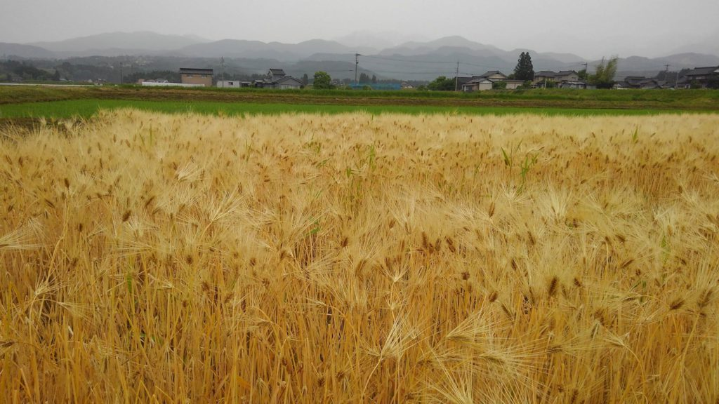 越中の涙を数ふ麦の秋