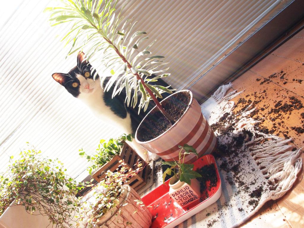 鉢植えを掘り返しといて我関せずの顔のハチワレ猫