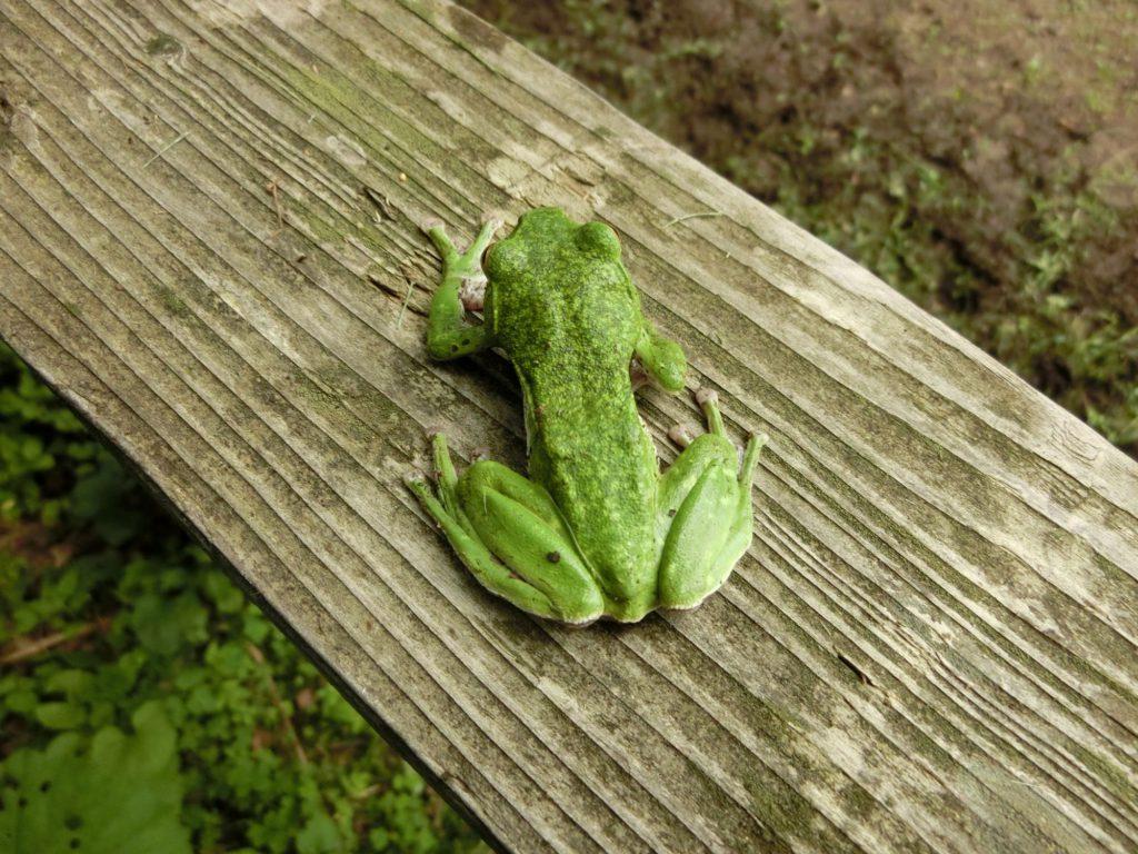 遠野の青蛙
