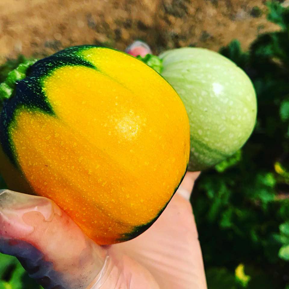 オレンジ色に丸く育ったズッキーニ