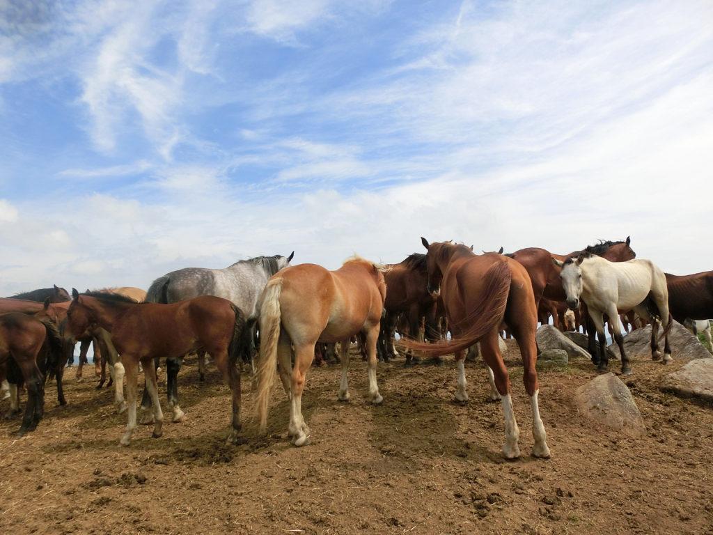 遠野の馬の群れ