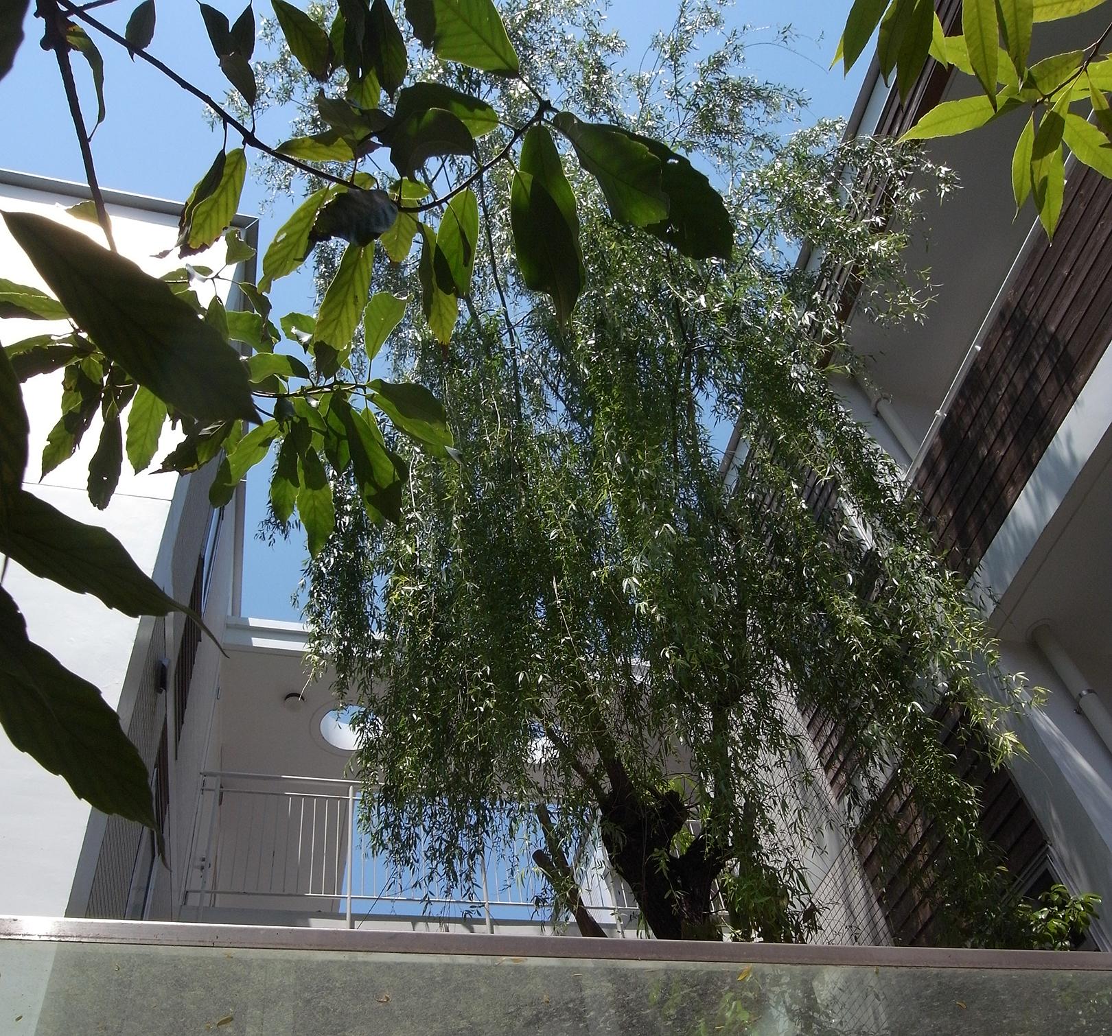シンボルツリーの柳
