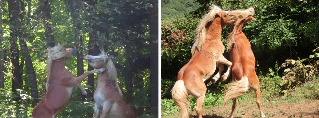 立ち上がって力を誇示する牡馬