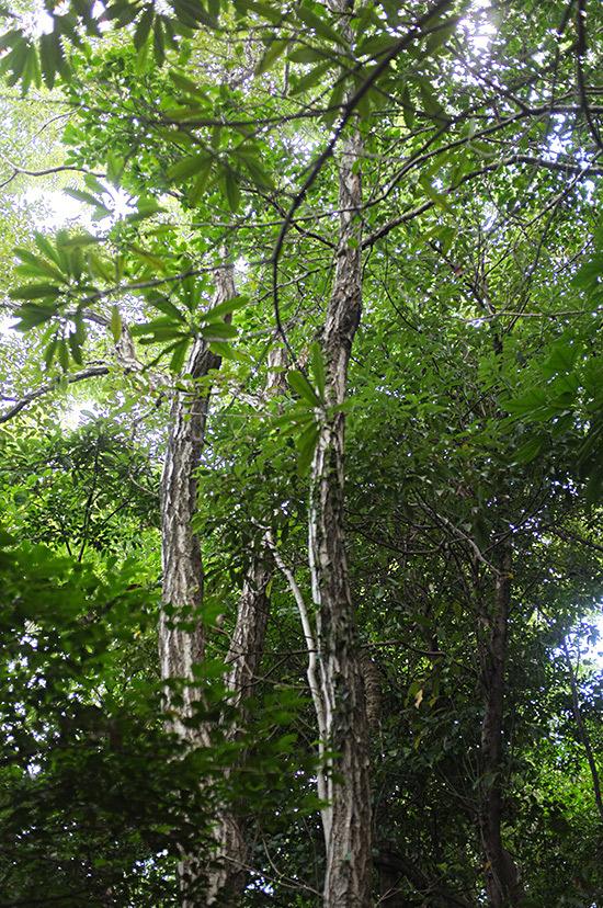 コナラの木