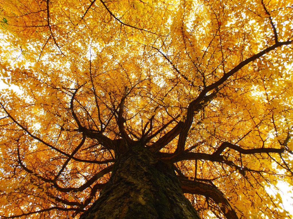 イチョウの木
