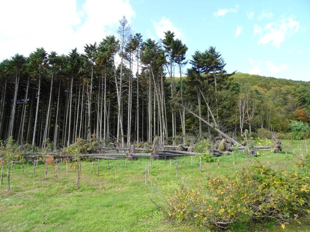 北海道の台風で倒れた倒木