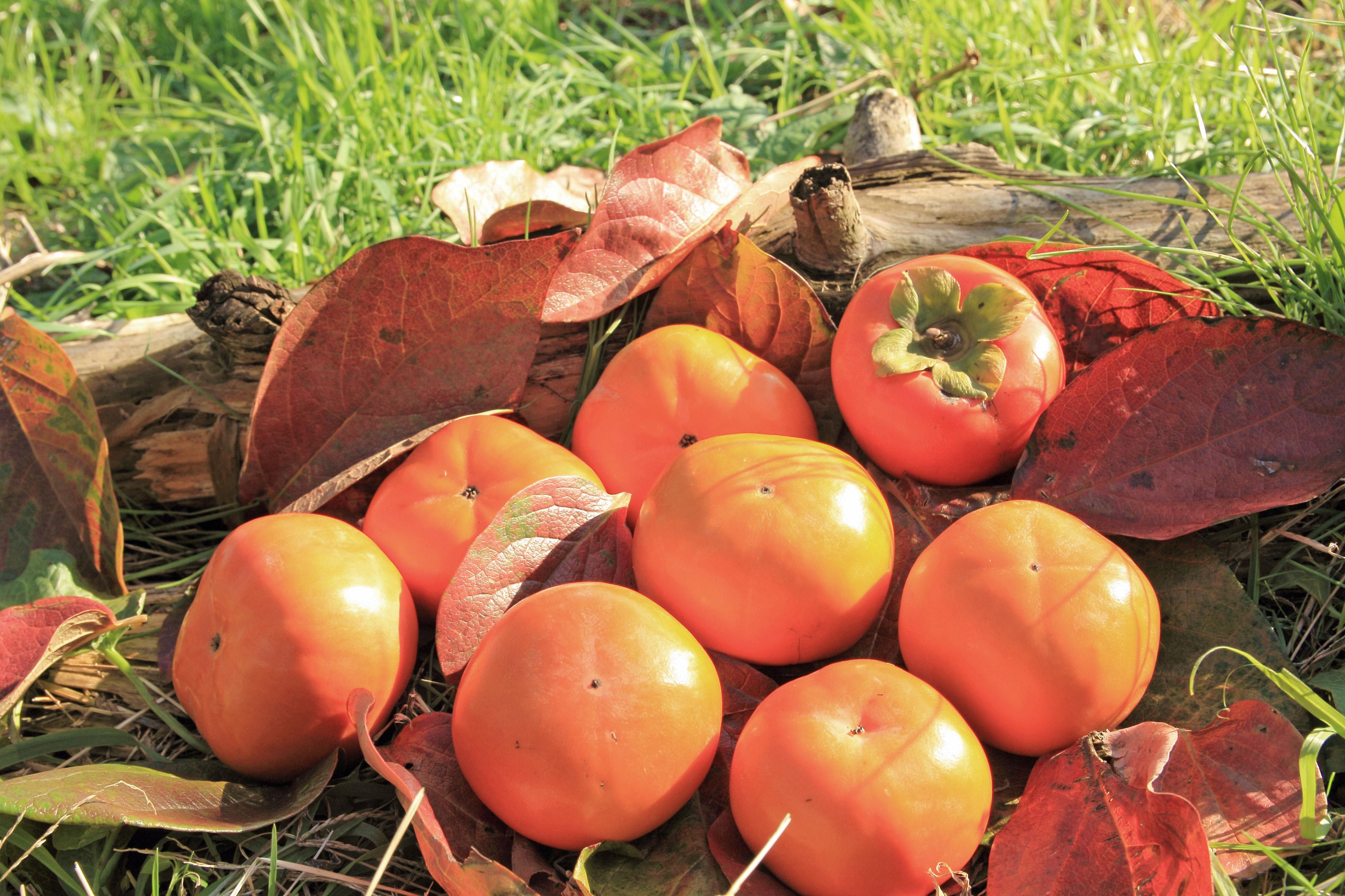 採れたての柿
