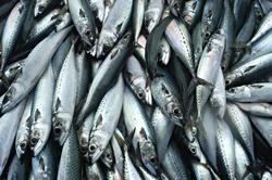 真鯖の水揚げ