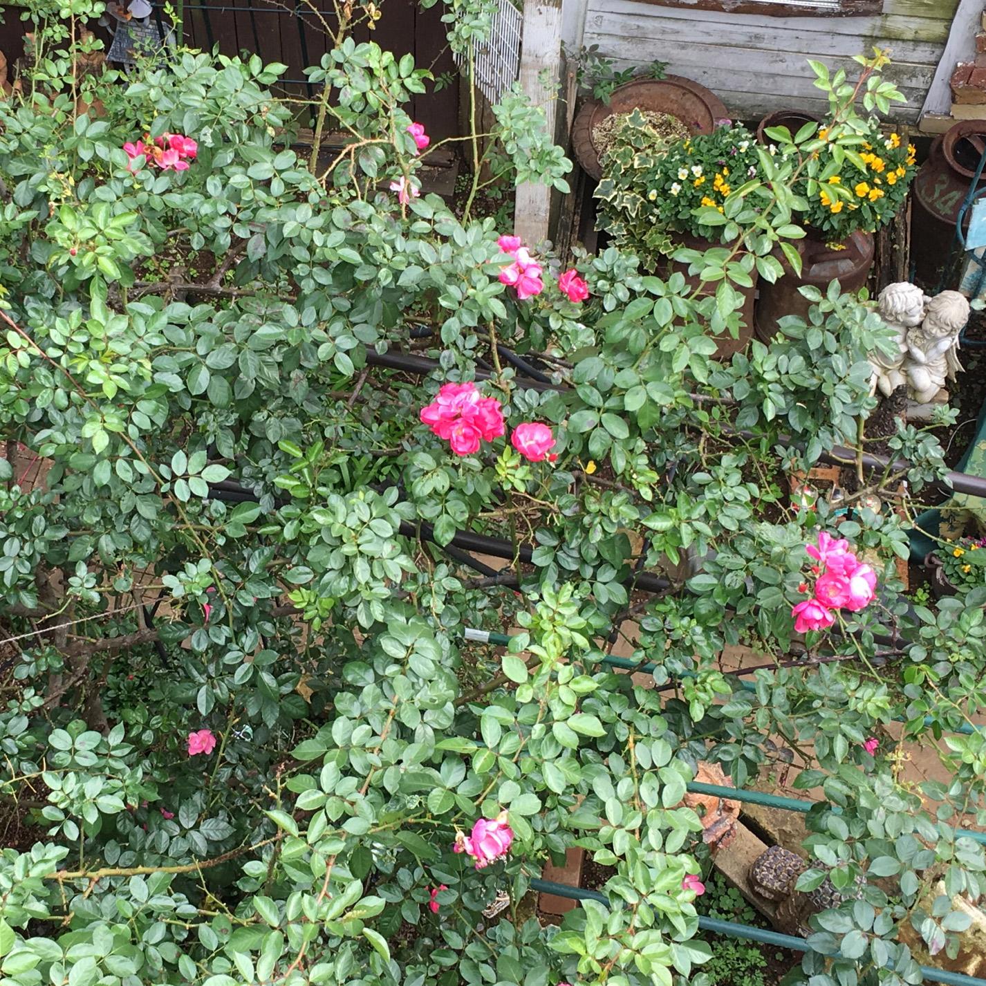 千葉のオープンガーデンのバラ