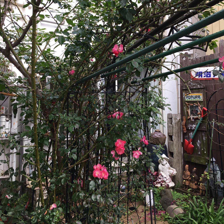 オープンガーデンのピンクのばら