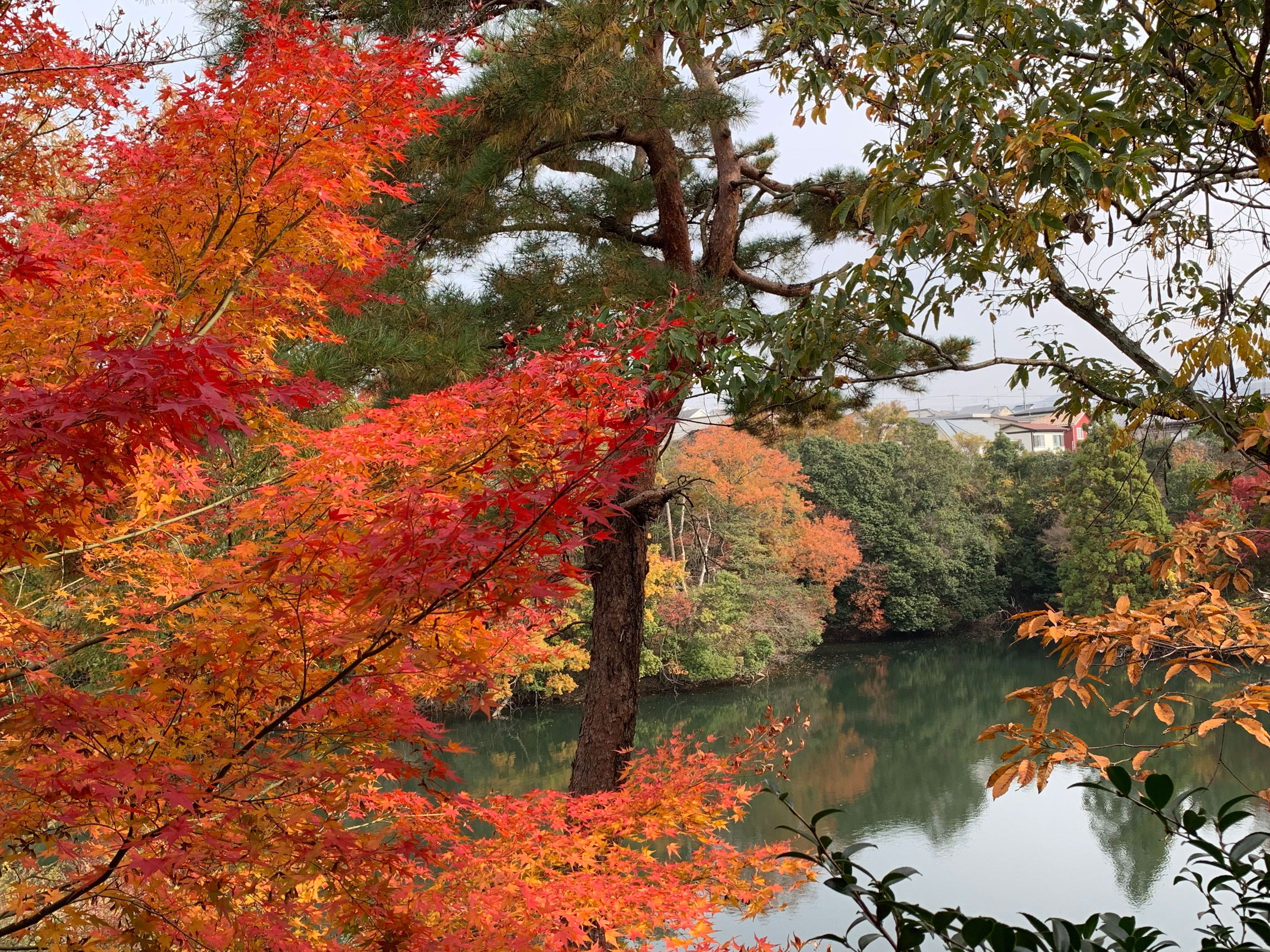 多田グリーンハイツの池と紅葉