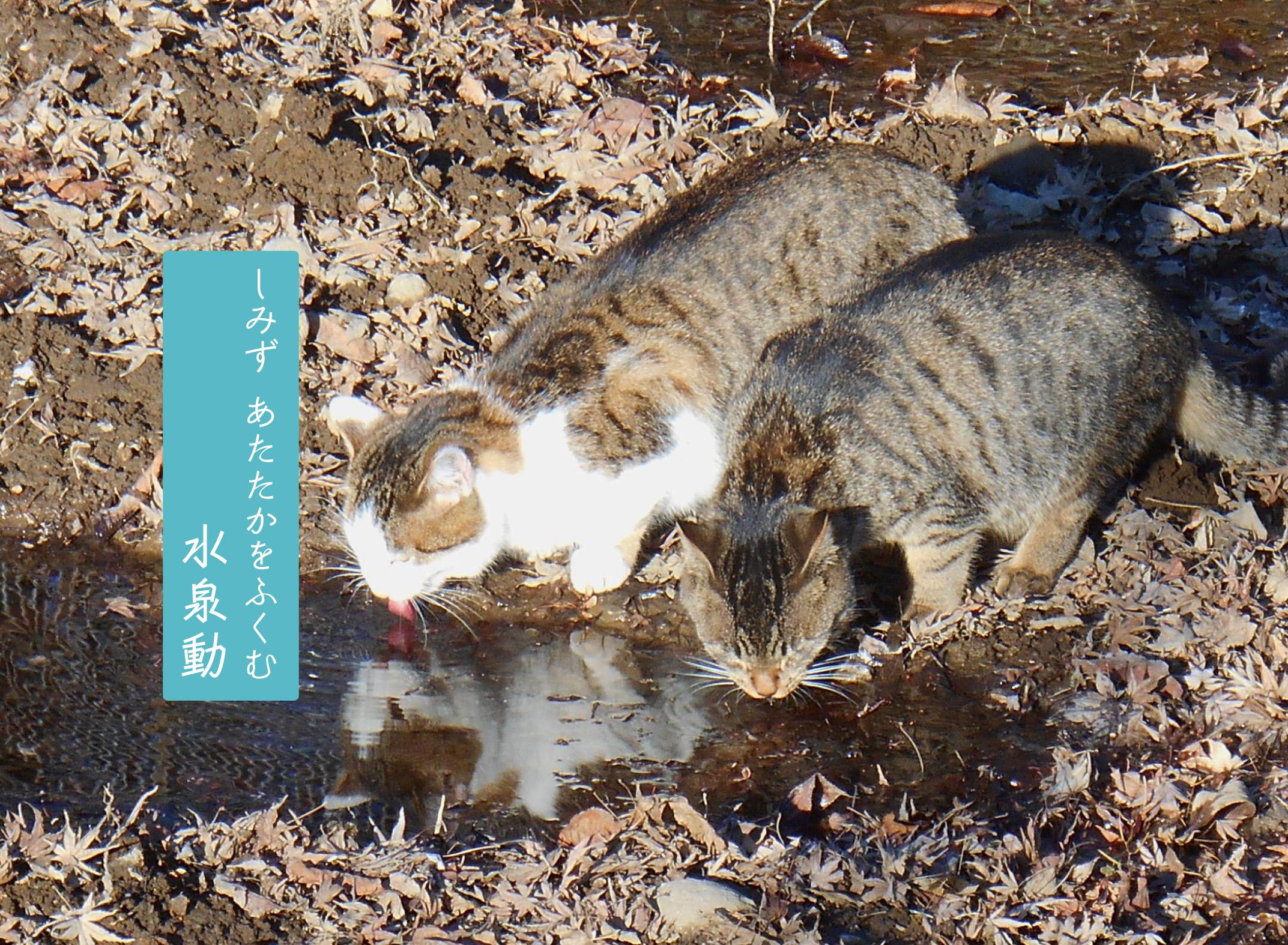 水たまりの水を飲む猫