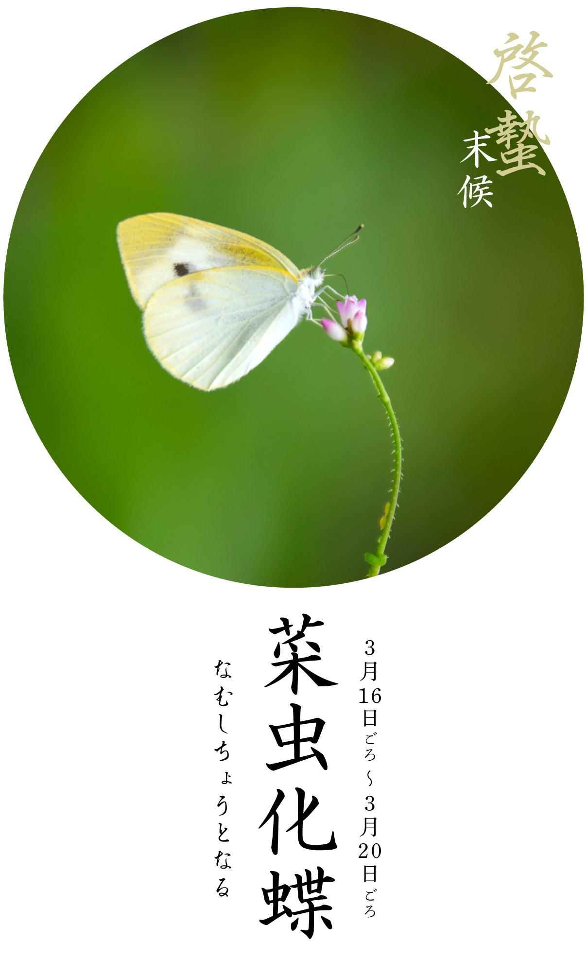啓蟄末候・菜虫化蝶