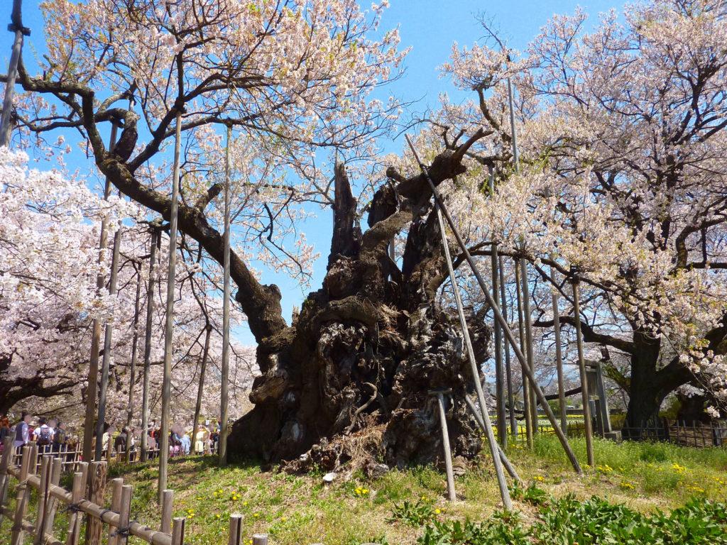 山高神代桜(エドヒガン)