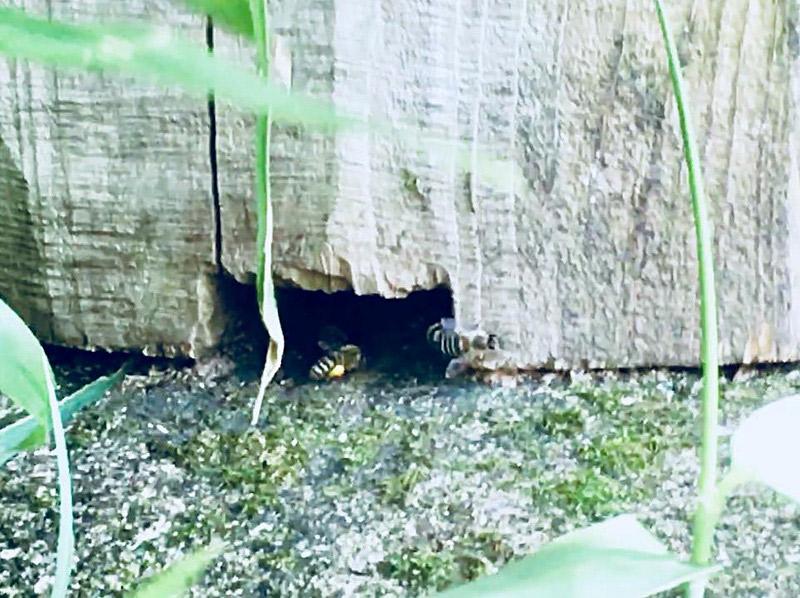 日本ミツバチが巣に入るところ