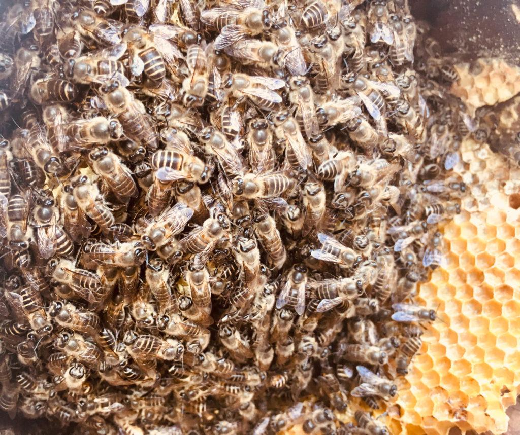 日本ミツバチの群
