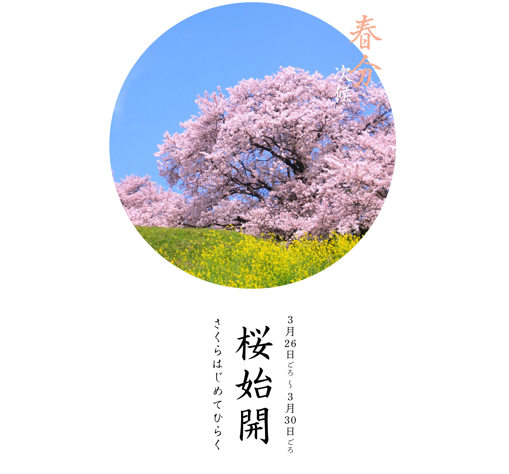 春分次候・桜始開