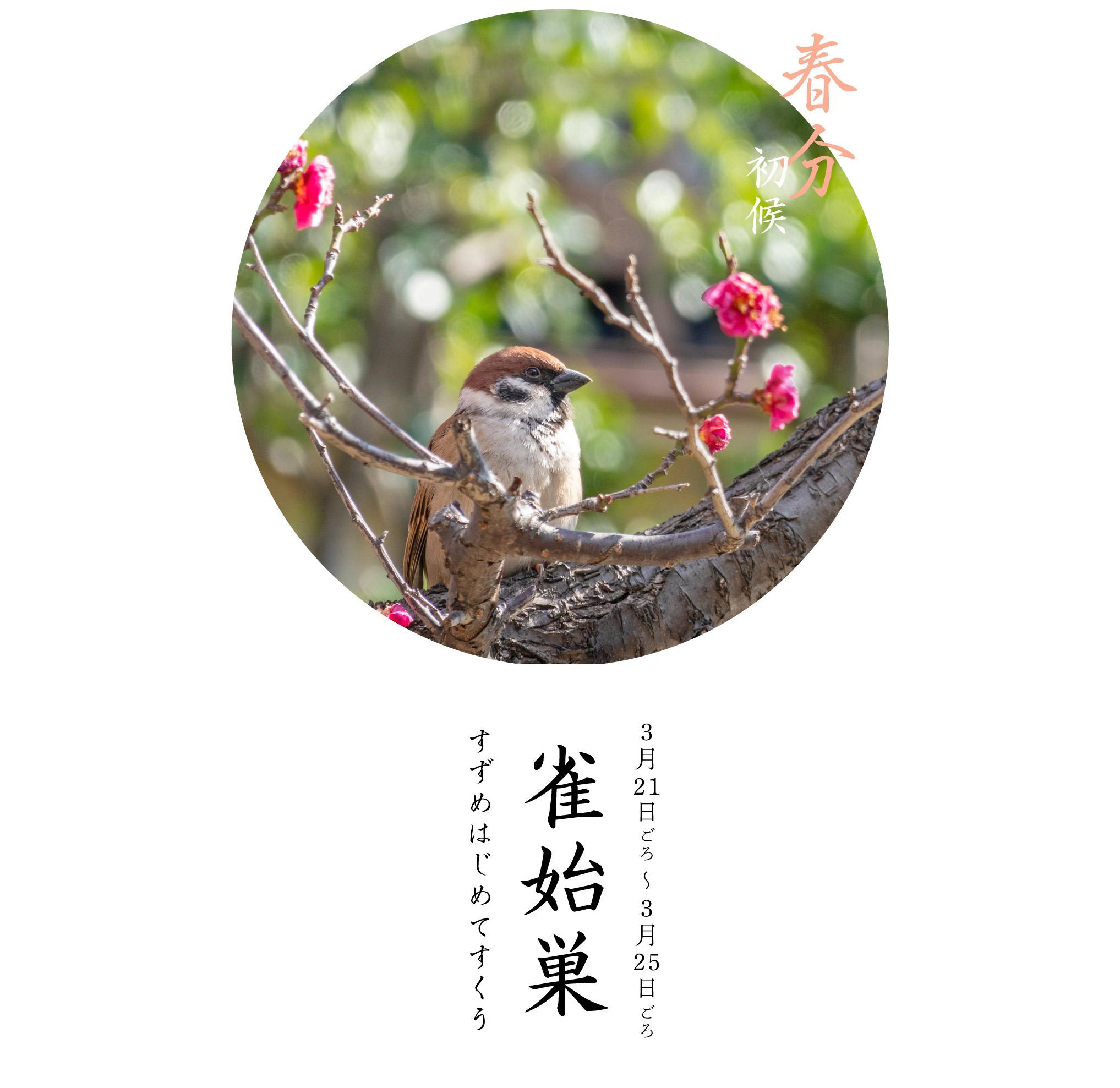 春分初候・雀始巣