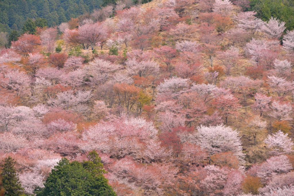 奈良県・吉野の桜