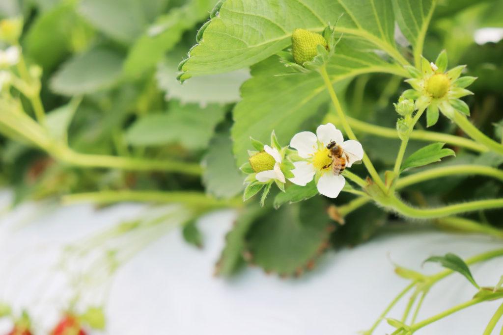 苺の受粉を手伝うミツバチ