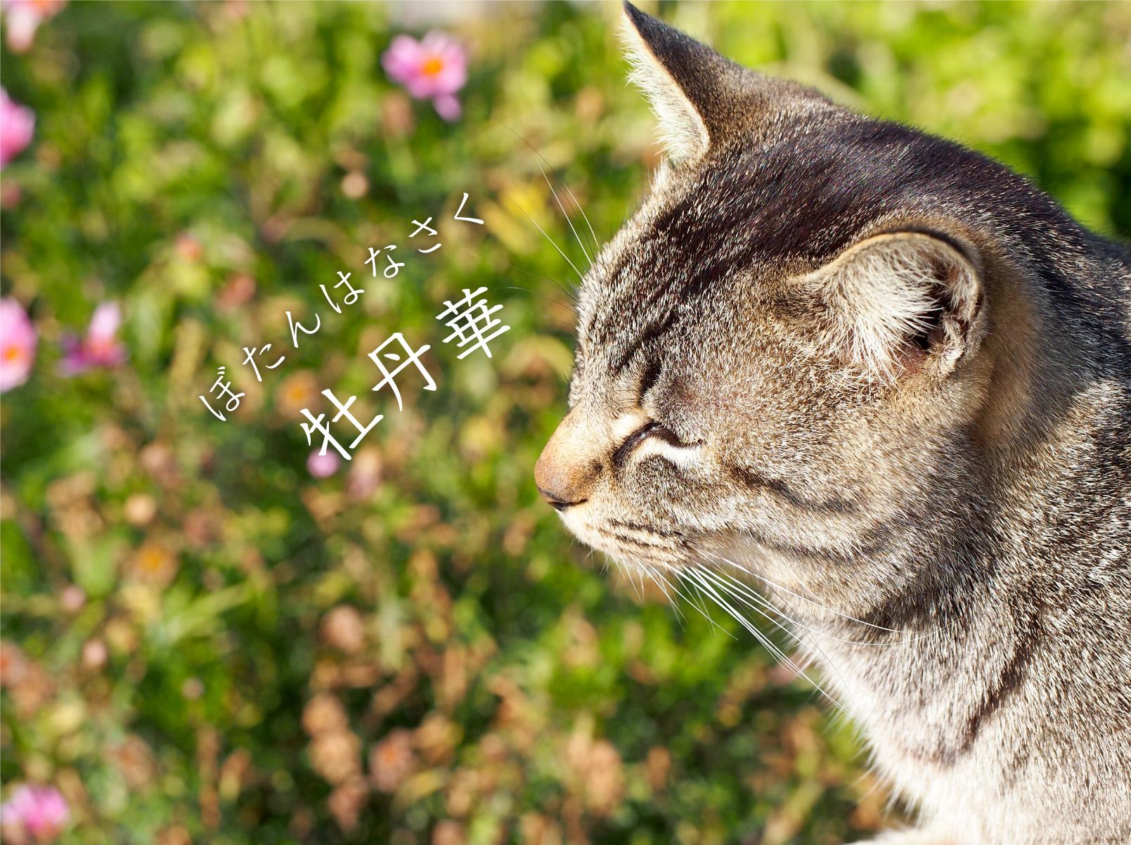 猫と牡丹華