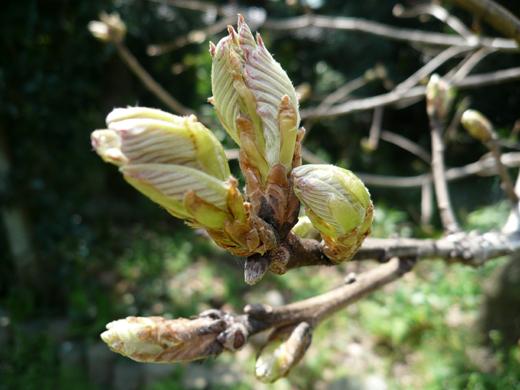 開く直前の柏の葉
