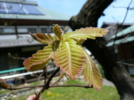芽が開いた柏の葉