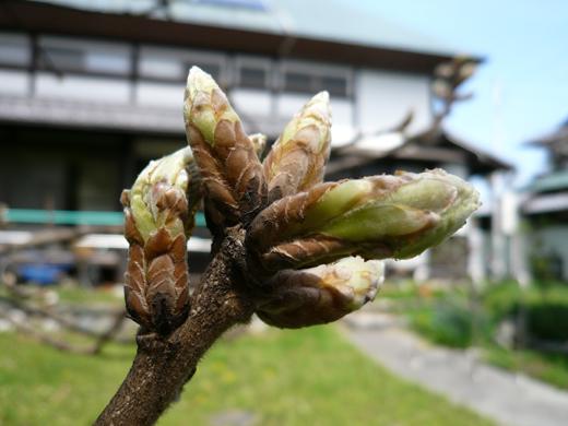 数が増え大きく膨らんだ柏の芽