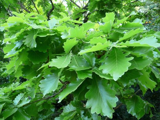 葉が多い柏の木
