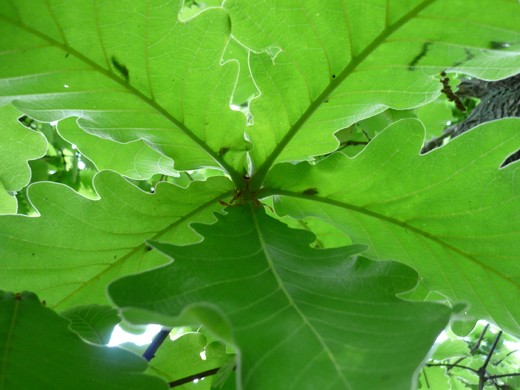 裏から見た柏の葉