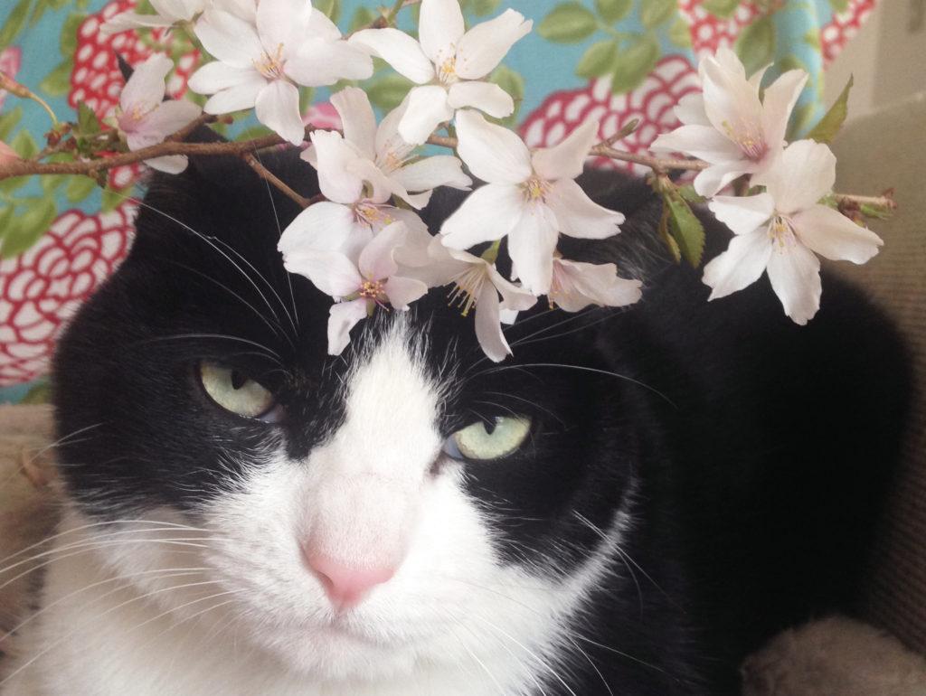 桜とハチワレ猫