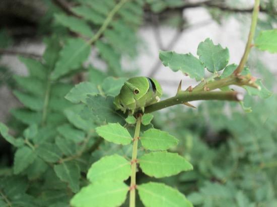 山椒の木にいた青虫