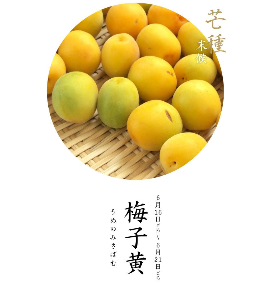 芒種末候梅子黄