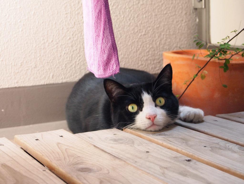 ベランダでくつろぐハチワレ猫