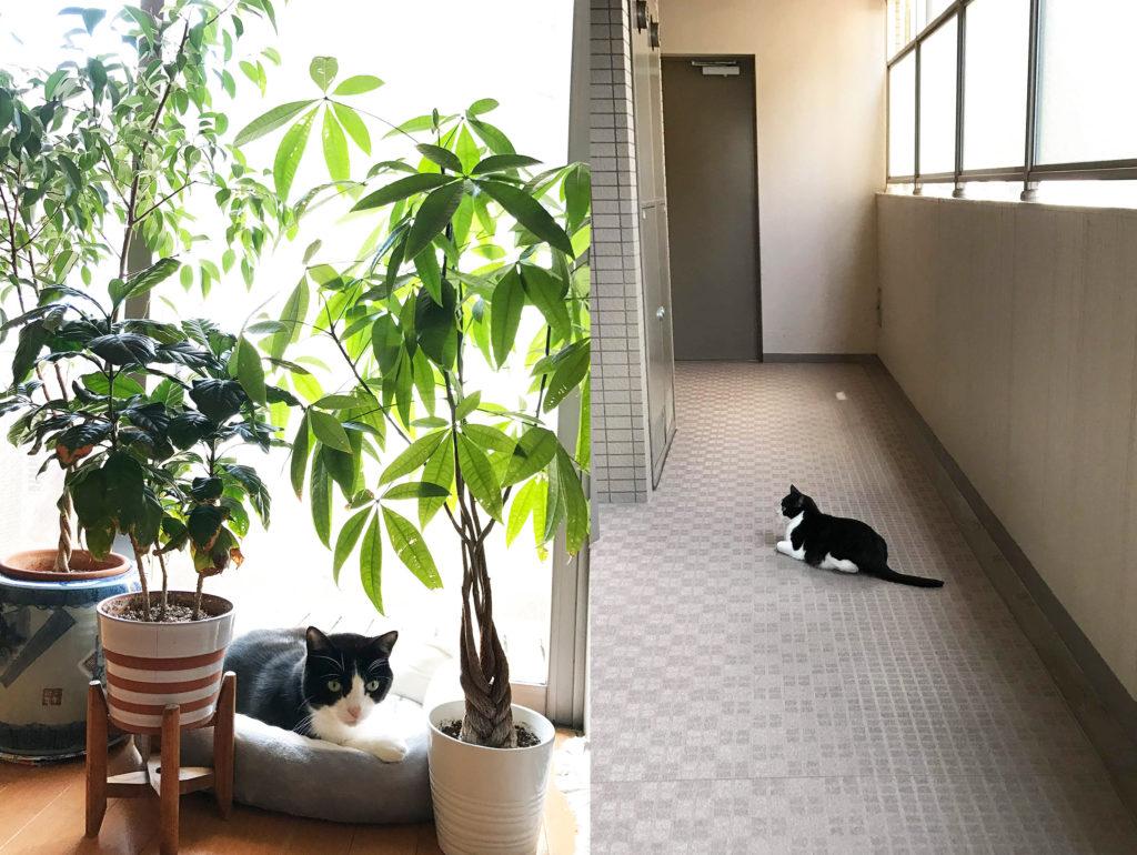 観葉植物の下と廊下でくつろぐ猫