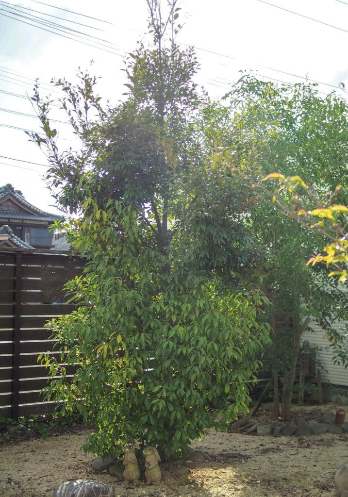 成長した3種の木アラカシ・タブノキ・スダジイ