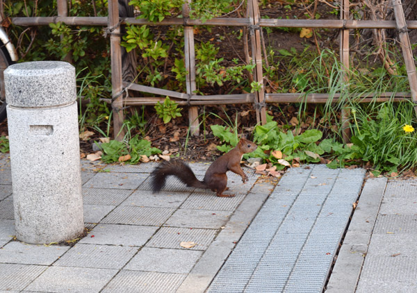 円山公園のエゾリス