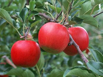 真っ赤に熟したりんご