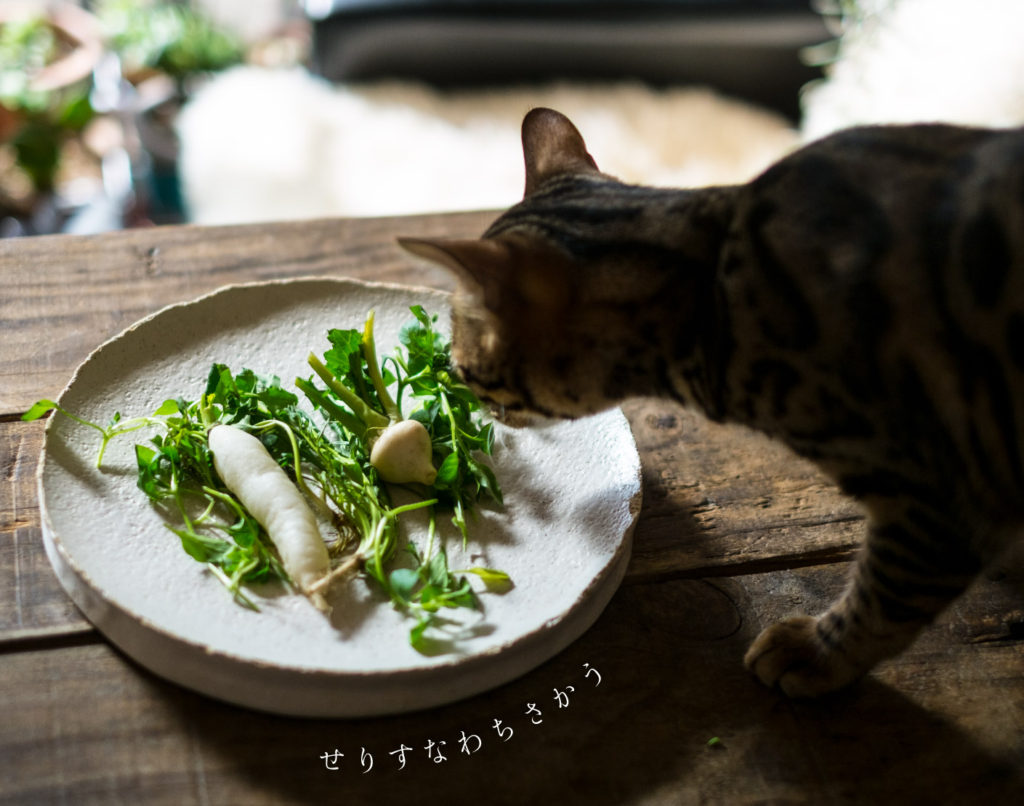 春の七草と猫