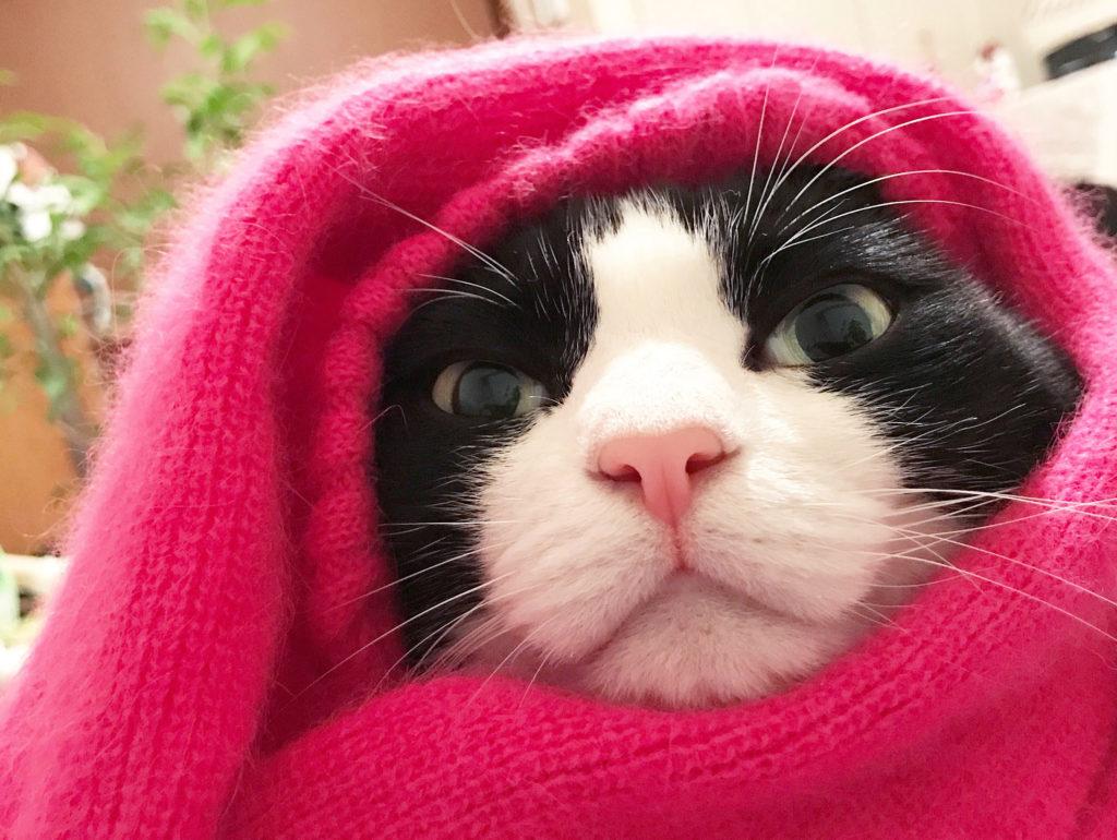 セーターに入るハチワレ猫