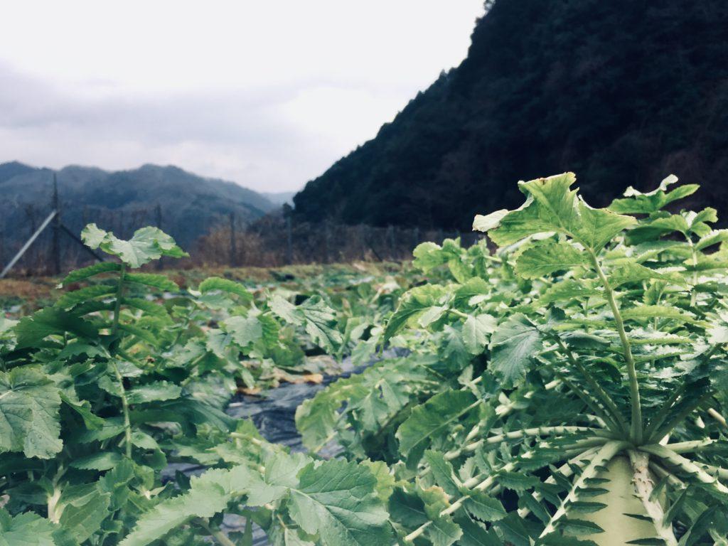 大根畑の向こうに広がる山景色