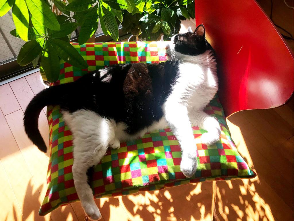 寛いで寝転ぶハチワレ猫