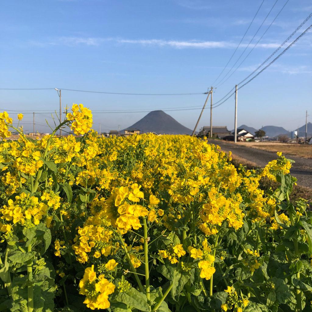 春の菜の花とおむすび山