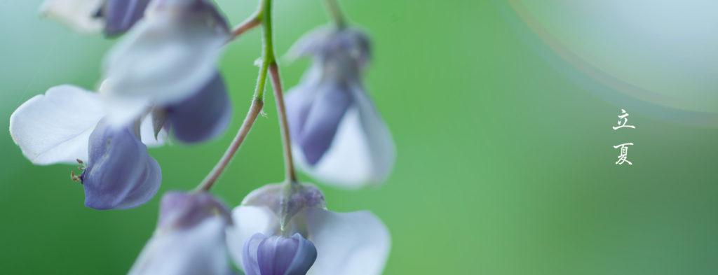 立夏藤の花