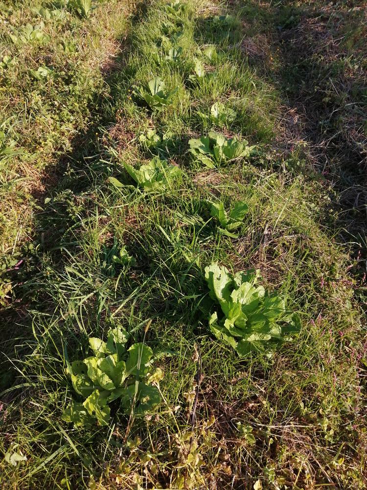 白菜と雑草が同居する畑