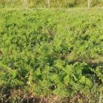 自然農のにんじん畑
